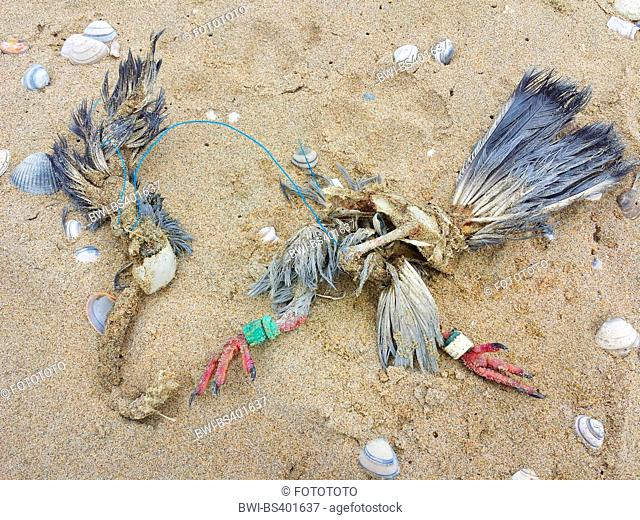 pigeons and doves (Columbidae), remains of a dead dove on the beach, Netherlands, Nordwijk