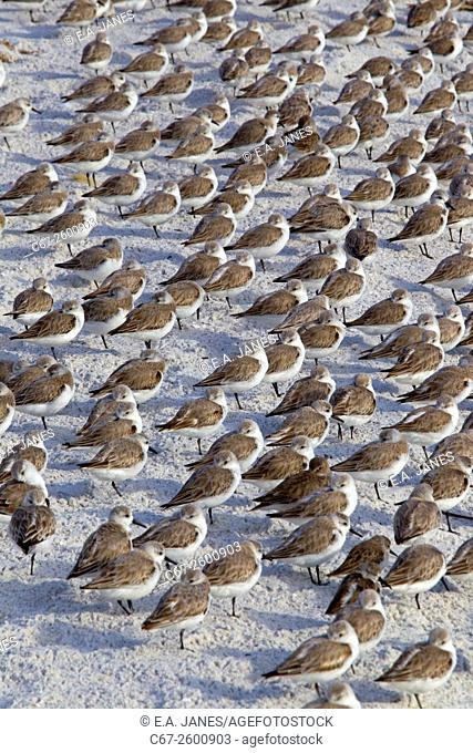 Sanderlings Calidris alba and Dunlin Caldris alpina resting March Fort Myers beach Gulf coast Florida USA