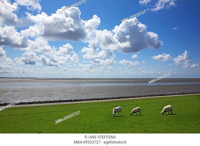Sheep on the dyke of the bay of Meldorf close Elpersbuettel