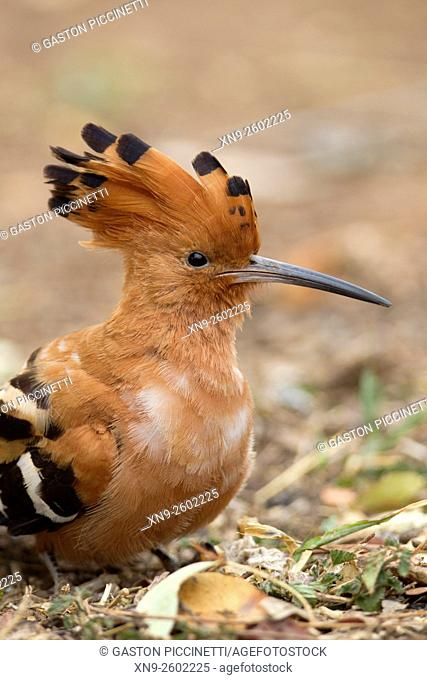 African Hoopoe (Upupa epops), Kruger National Park, South Africa