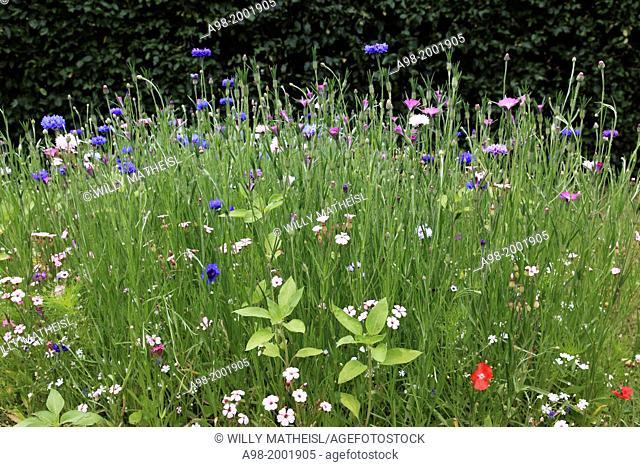 field with Cornflowers Centaurea cyanus and various wildflowers