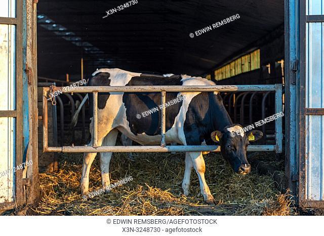 Holstein cow sticks it head through gate of barn, Broniewo, Kuyavian-Pomeranian Voivodeship, Poland