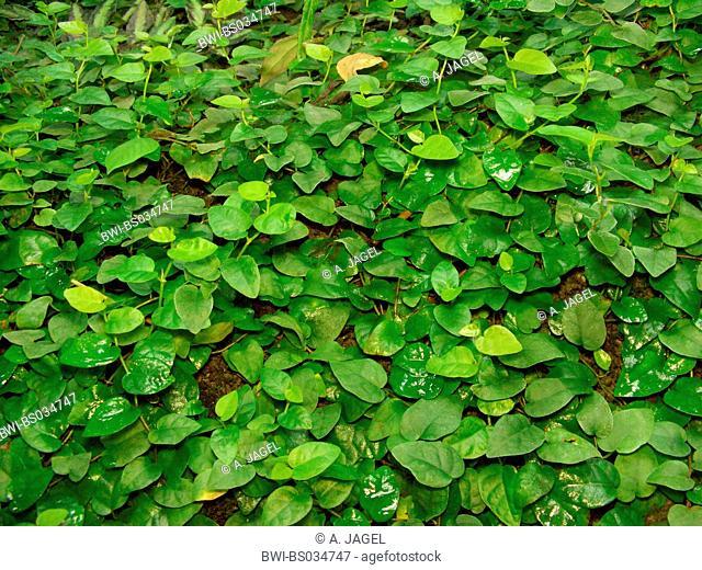 Creeping Fig, Fig Vine (Ficus pumila), creeping plant