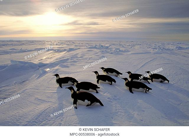 Emperor Penguin (Aptenodytes forsteri) tobogganing on sea ice at sunset, Weddell Sea, Antarctica