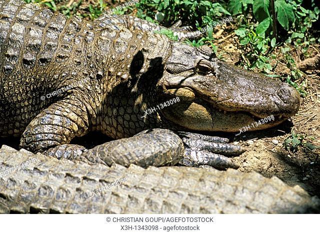 alligator, bayou, Louisiana, United States of America, Americas