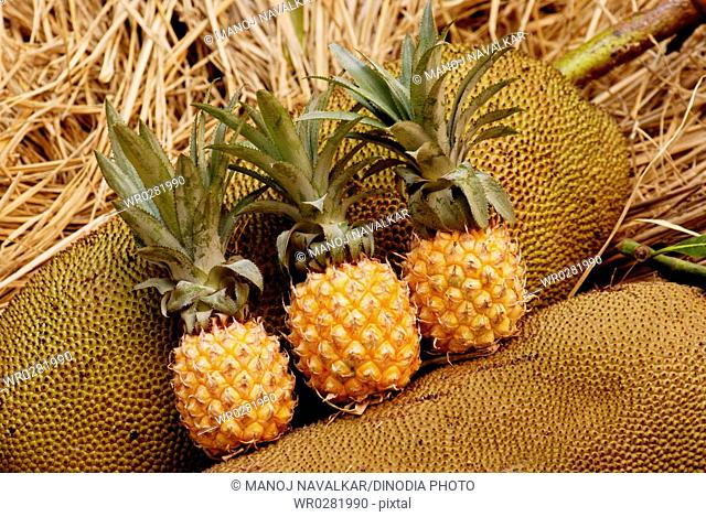 Fruits , Jackfruits and Pineapples kept in straw for ripening from Lanja Konkan , Maharashtra , India
