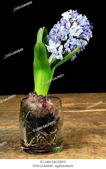 Hyacinthus orientalis, giacinto