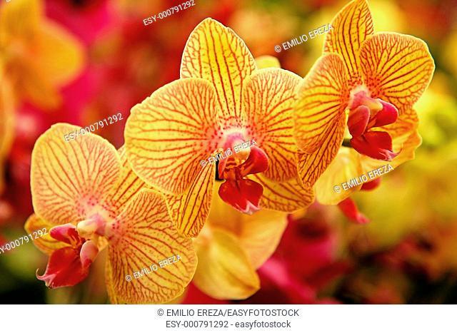 Orchid Phalaenopsis hybr