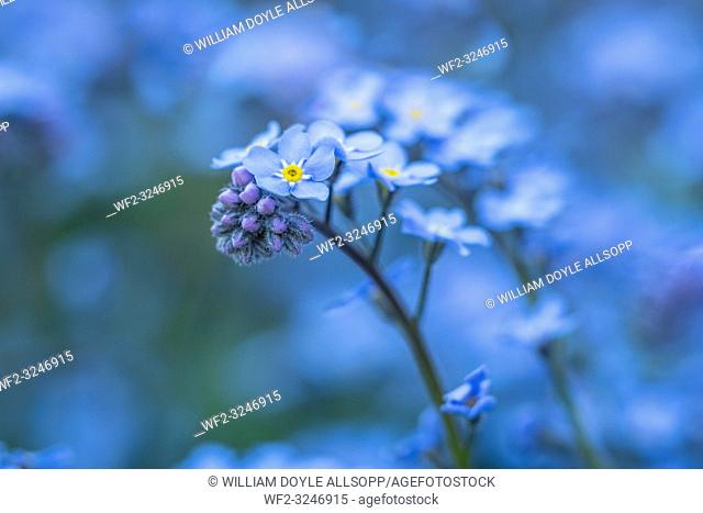 Forget-me-not flowers grow in clumps