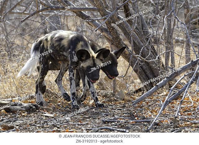 African wild dogs (Lycaon pictus) walking side by side on arid ground, Kruger National Park, South Africa, Africa