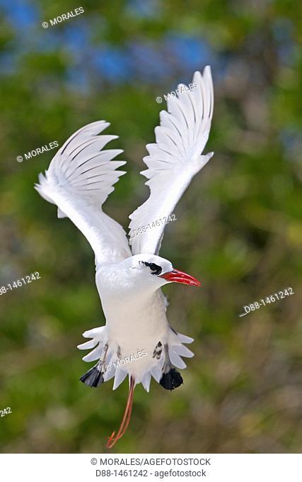 Red-billed Tropicbird (Phaethon aethereus), Sand Island, Midway Atoll National Wildlife Refuge, Hawaii, USA
