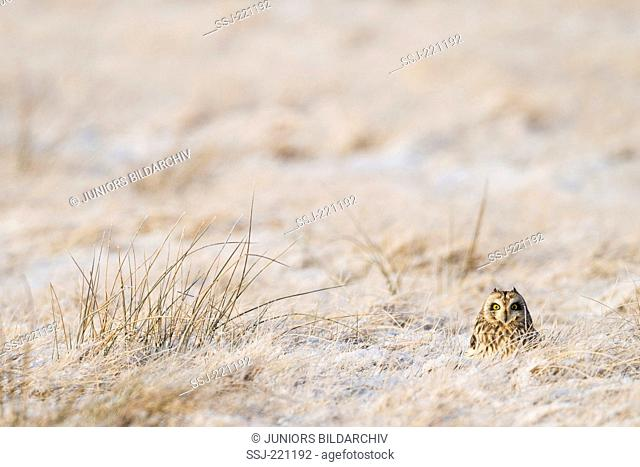 Short-Eared Owl (Asio flammeus). Adult standing on meadow covered in hoarfrost. Sale in German-speaking countries only