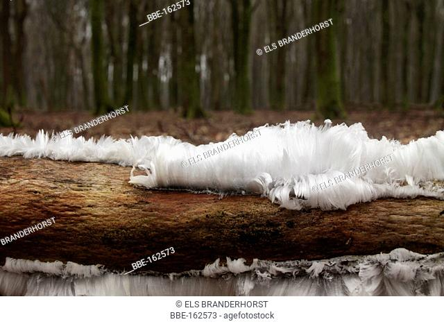 Icehair is caused by an active fungi inside a dead branch at frost and a high humidity