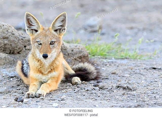 Namibia, Etosha National Park, lying Black-backed Jackal