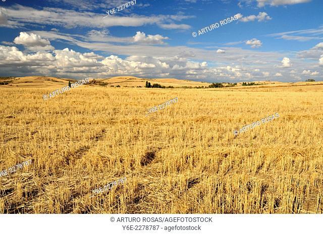 Cereal field. Cobeña, Madrid. Spain