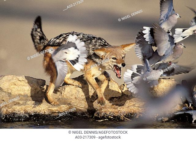 Blackbacked Jackal (Canis mesomelas), catching doves. Kgalagadi Transfrontier Park (formerly Kalahari-Gemsbok National Park). South Africa