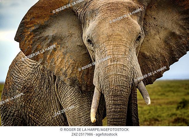 African bush elephant (Loxodonta africana). Amboseli National Park. Kenya