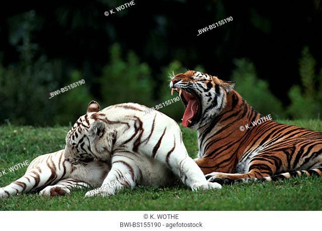 Bengal tiger (Panthera tigris tigris), normally coloured and white individual