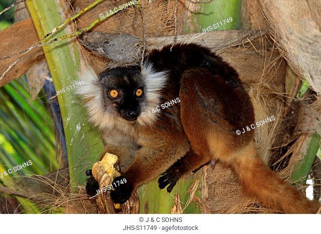 Black Lemur, Eulemur macaco, Nosy Komba, Madagascar, Africa, adult female feeding banana