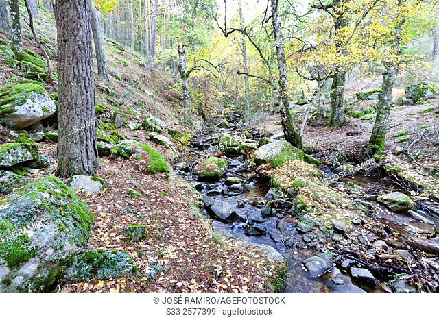 Sestil stream in Canencia birch. Sierra de la Morcuera. Madrid. Spain. Europe