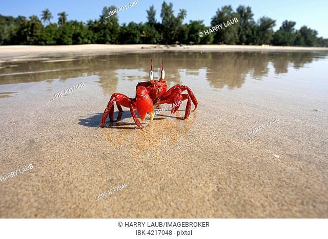 Red crab (Brachyura) on the beach of Ngapali Beach, Ngapali, Thandwe, Rakhine State, Myanmar