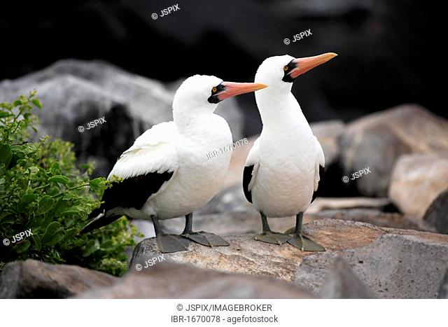 Nazca Booby (Sula granti), pair, adults, standing on rocks, Galapagos Islands, Pacific Ocean