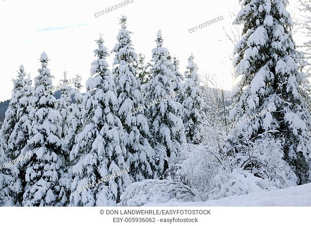 Cold snow covered tress, Stowe, Vermont, USA