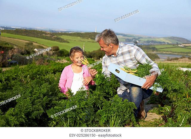 Farmer With Daughter Harvesting Organic Carrot Crop On Farm