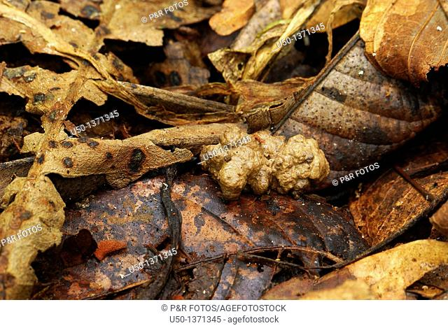 Worm cast of a Earthworm, Oligochaeta, Annelida, Acre, Brazil, 2008