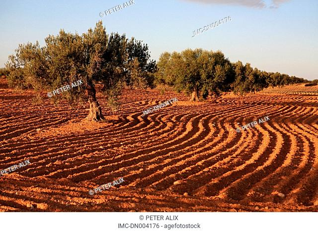 Tunisia, near Medenine, olive trees