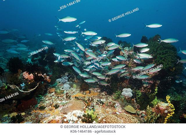 Tessellated fusiliers Pterocaesio tessellata swimming over coral reef  Indonesia