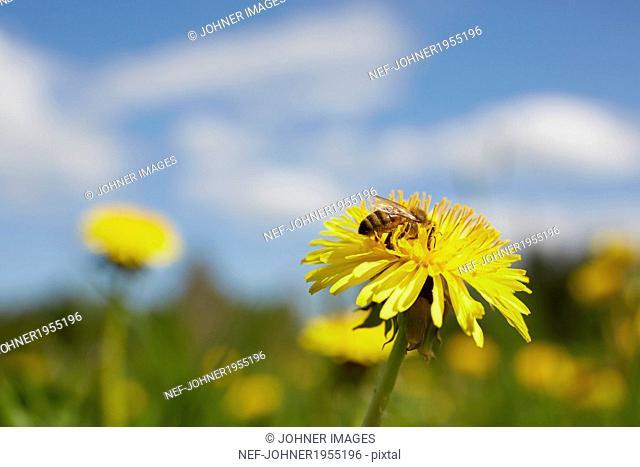 Wasp on dandelion flower