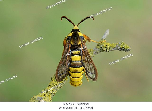 Hornet clearwing, Sesia apiformis
