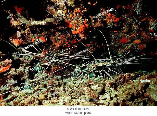 Lobsters in small Caves, Panulirus versicolor, Indian Ocean, Maldives Island