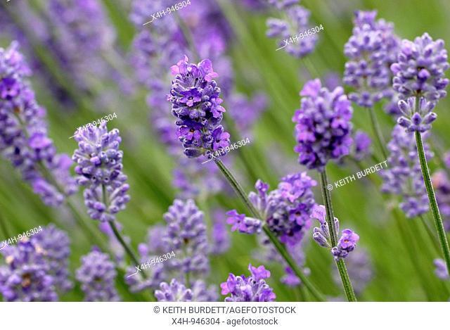 English Lavender Lavandula augustifolia, Wales