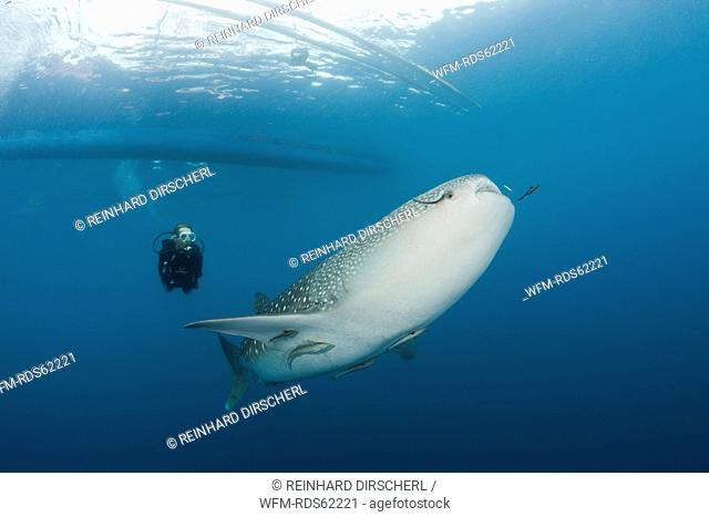 Whale Shark and Scuba Diver, Rhincodon typus, Cenderawasih Bay, West Papua, Indonesia