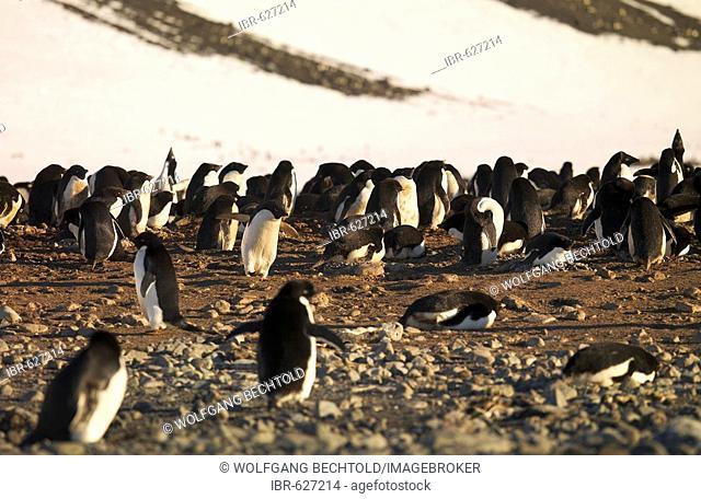 Adélie Penguin (Pygoscelis adeliae) colony on Franklin Island, Antarctica