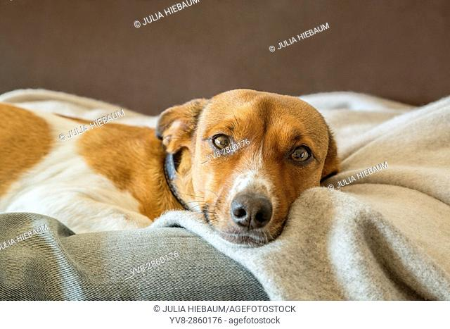 Relaxing mixed breed dog on a blanket