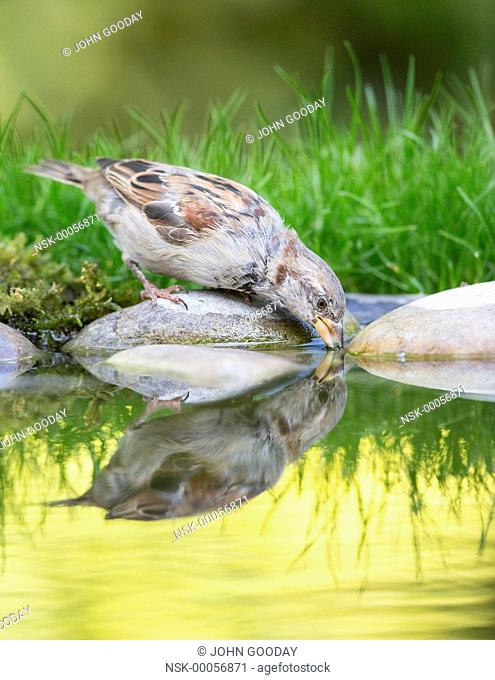 House Sparrow (Passer domesticus) drinking, England, Essex