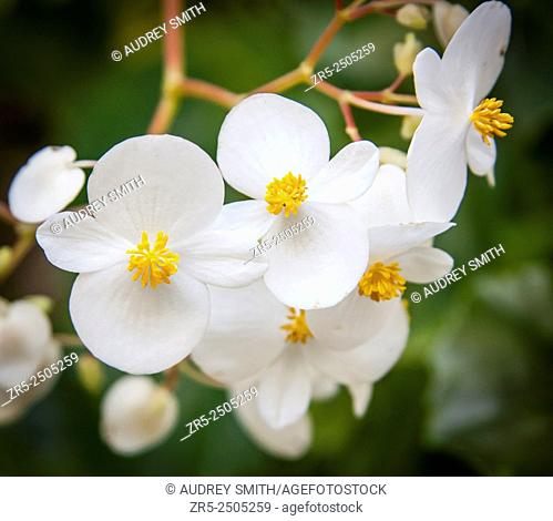 A cluster of white flowers, with two small petals and two large petals on each bloom; Florida, USA