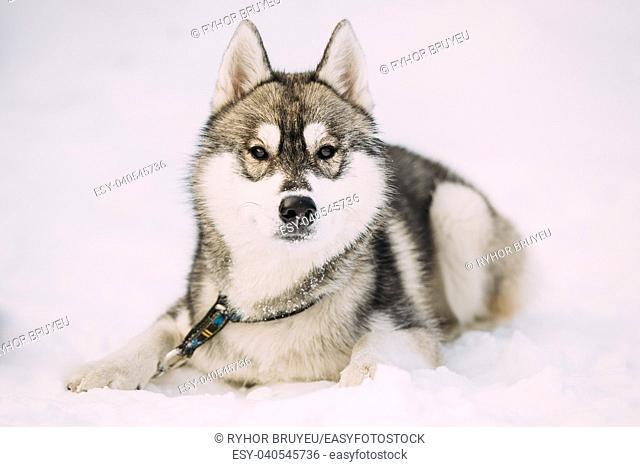 Husky Puppy Dog Sit In Snow. Winter Season. Dog Looking At Camera