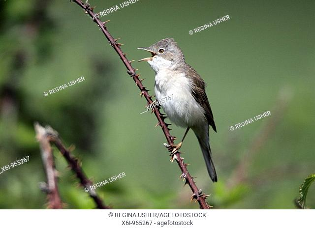 Whitethroat Sylvia communis, male singing from briar branch