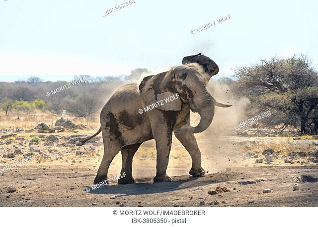 African Bush Elephant (Loxodonta africana) taking a dust bath, Koinachas waterhole, Etosha National Park, Namibia