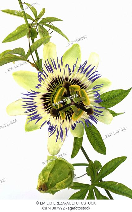 Pasionaria Passiflora incarnata