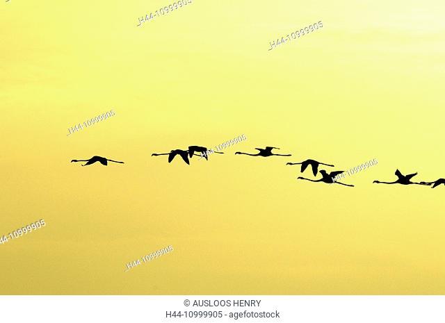 Great Flamingo, Flight, Phoenicopterus roseus
