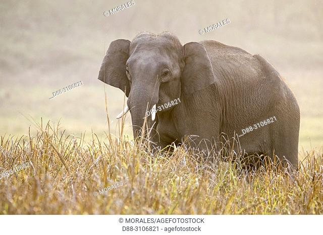 Asia, India, Uttarakhand, Jim Corbett National Park, Asian or Asiatic elephant (Elephas maximus). in a grassland