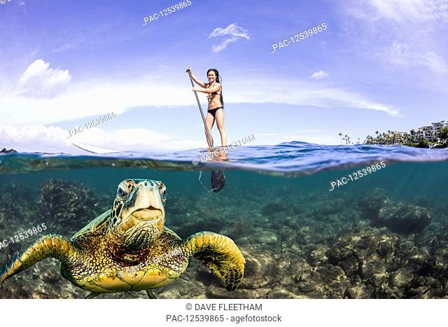 A green sea turtle (Chelonia mydas), an endangered species, surfaces for a breath in front of a stand-up paddle board off the coast of Maui; Maui, Hawaii