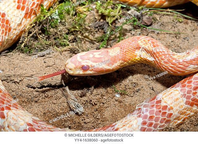 Female corn snake, red rat snake, Elaphe guttata guttata, native to southeastern United States