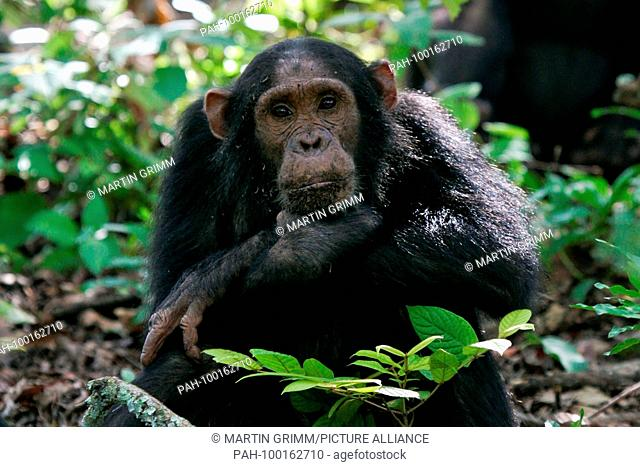 Eastern chimpanzee (Pan troglodytes schweinfurthii) female sitting thoughtfully in rainforest, Gombe Stream National Park, Tanzania | usage worldwide
