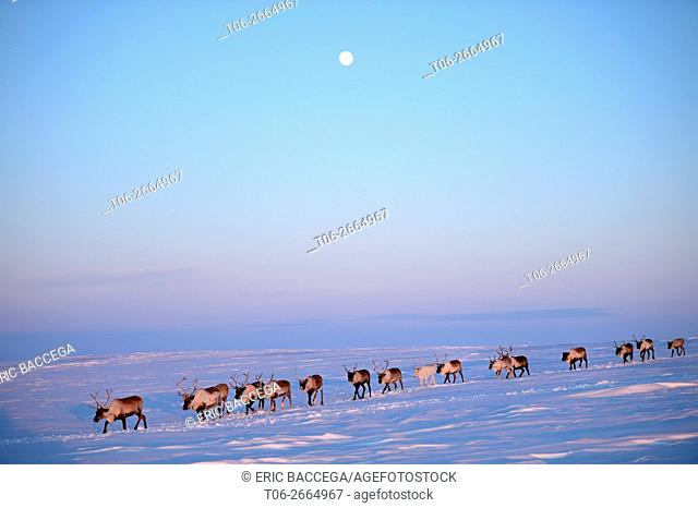 Reindeer (Rangifer tarandus) herd migrating in spring at sunset under the moon, Yar-Sale district, Yamal, Northwest Siberia, Russia